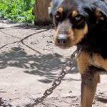 Veneto: vietato legare cani alla catena