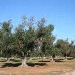 Ue: abbattere alberi Salento colpiti da Xylella fastidiosa
