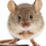 I topi sono altruisti, lo dice una nuova ricerca
