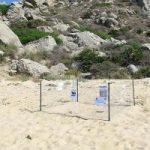 Tartaruga Caretta caretta fa il nido in Sardegna