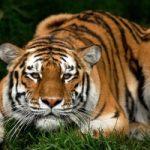 E' la Giornata Mondiale della Tigre