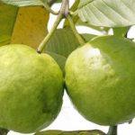 Le proprietà della guava