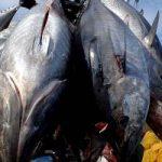 Il lato oscuro della pesca del tonno