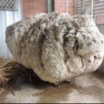 Una pecora da record, con tosatura eccezionale