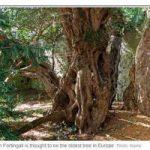 Un albero di 3.000 anni cambia sesso