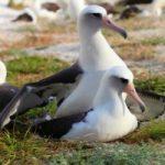 L'uccello più anziano del mondo torna a nidificare