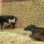 Gli escrementi essiccati di mucca sono un combustibile economico ed ecologico