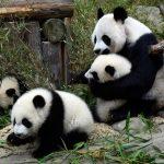 È vero che il panda gigante non è più a rischio di estinzione?