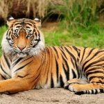 Tigri a rischio estinzione: ne rimangono 3000. Il 29 luglio è la giornata mondiale