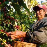 Metà delle coltivazioni di caffè a rischio per il riscaldamento globale