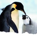 I pinguini di Adelia potrebbero scomparire?