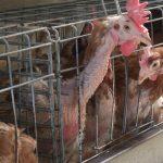 Le galline sono sempre chiuse in gabbia... Attenzione alle uova