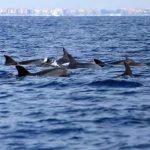 Censiti 145 delfini sul litorale romano