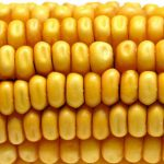 Europa divisa su 3 nuovi mais OGM