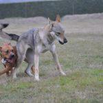 Il lupo rischia l'estinzione a causa del cane?