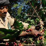 Il surriscaldamento globale potrebbe lasciarci senza caffè: a rischio le piantagioni in Etiopia