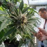 Primo ok sulla cannabis terapeutica