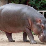 Gli ippopotami sono a rischio di estinzione