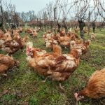 Polli creati per salvarci le penne