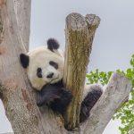 Una gigante riserva cinese per i panda