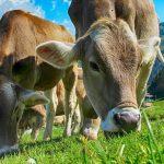 Le mucche alimentate con cibo bio producono un latte più tollerabile