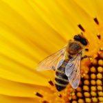 UE: al bando tre insetticidi dannosi per le api