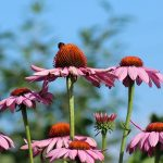 L'echinacea protegge da malattie legate allo stress