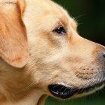 Anche i cani possono soffrire di problemi alla tiroide