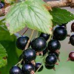 Ribes nero e menopausa
