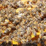 Morte record di api