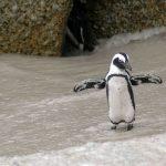 Pinguini di Magellano alla riscossa